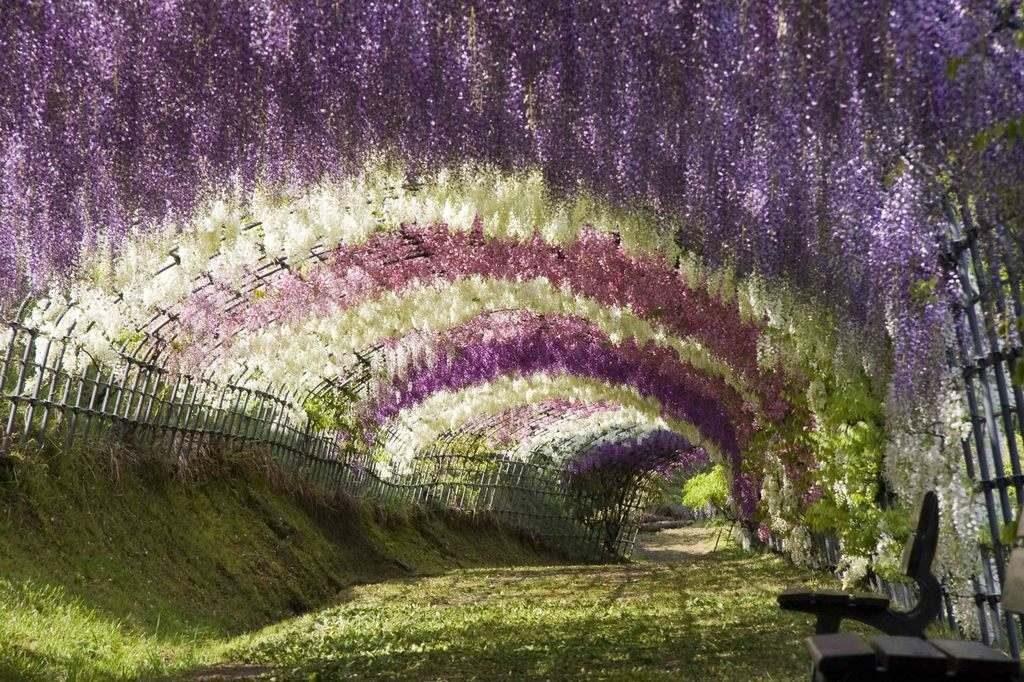 wisteria-sinensis-prolific